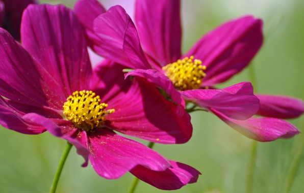 Picture summer, flowers, petals, kosmeya