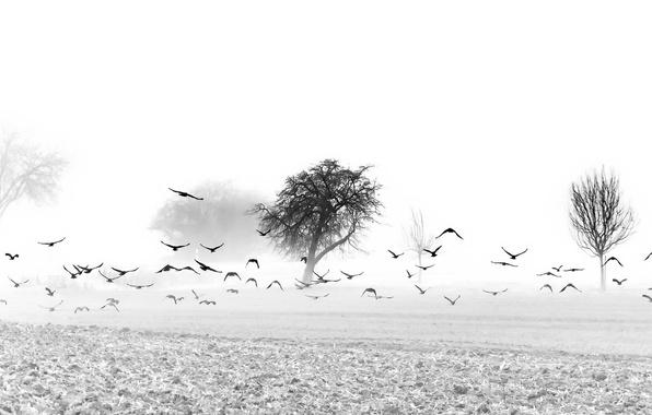 Picture field, birds, fog