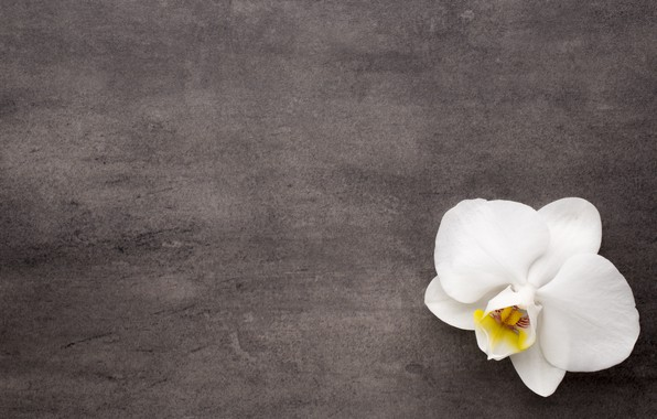 Picture flower, background, white, white, flower, Orchid, orchid