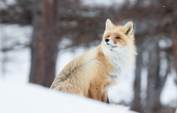 Picture winter, snow, the wind, Fox, red, bokeh