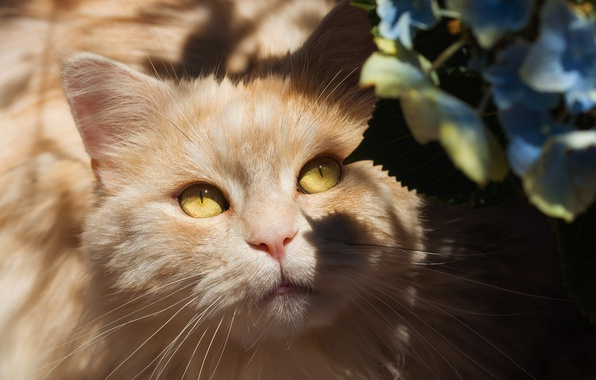 Picture cat, eyes, cat, look, light, flowers, portrait, chiaroscuro, shadows, face, yellow eyes, fluffy, hydrangea, peach