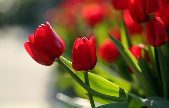 Picture tulips, buds, red tulips