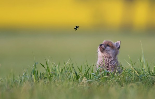 Picture grass, background, baby, bumblebee, bokeh, Fox, familiarity