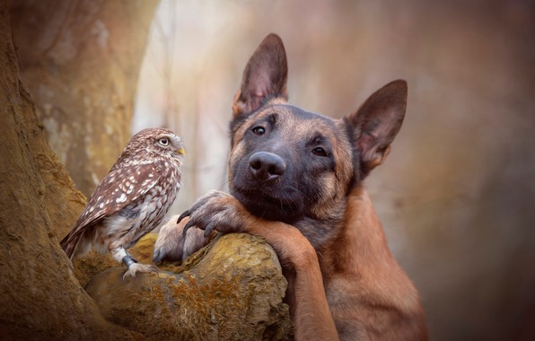 Picture forest, nature, tree, owl, bird, dog, friends, bokeh, shepherd