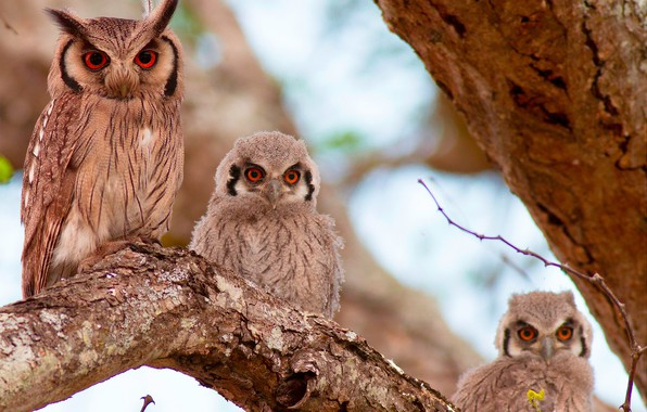 Picture birds, tree, owl, Chicks, Southern white-faced scoop