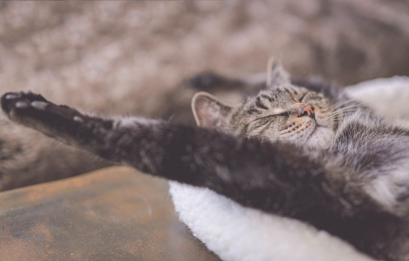 Picture cat, stay, relax, paw, sleep, chill, sleeping cat