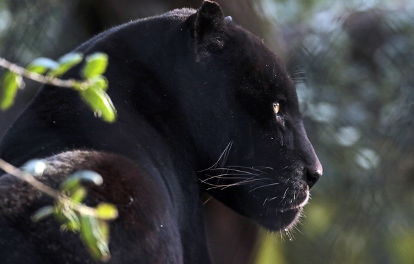 Picture face, portrait, predator, Jaguar, profile, wild cat, black Panther