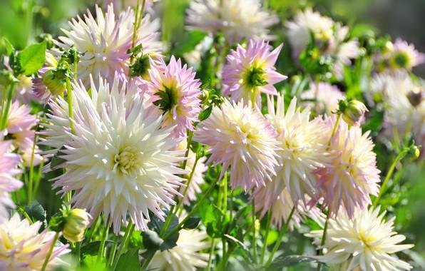 Picture flowers, orange, flowering, Dahlia, dahlias