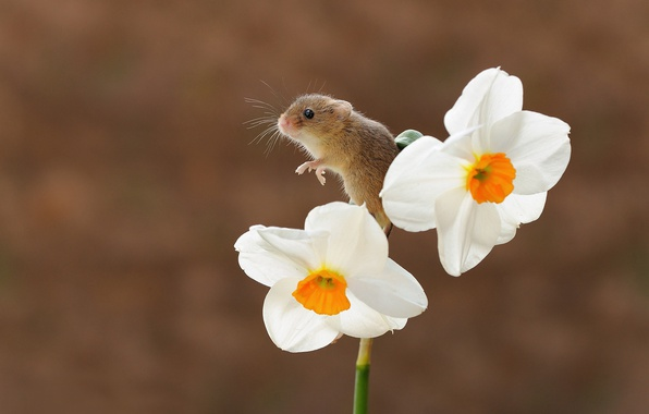 Picture flower, background, bokeh, Narcissus, rodent, the mouse is tiny