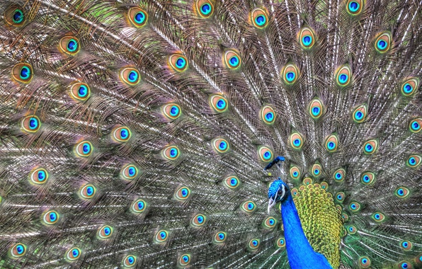 Picture bird, pattern, feathers, tail, peacock