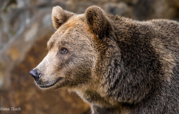 Picture look, face, portrait, bear, Brown bear, The Bruins