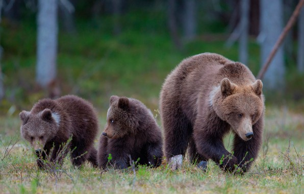 Picture forest, grass, nature, glade, bears, bears, bokeh, bear