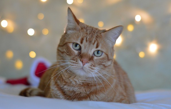Picture cat, cat, face, lights, background, holiday, new year, portrait, red, bed, lies, bokeh