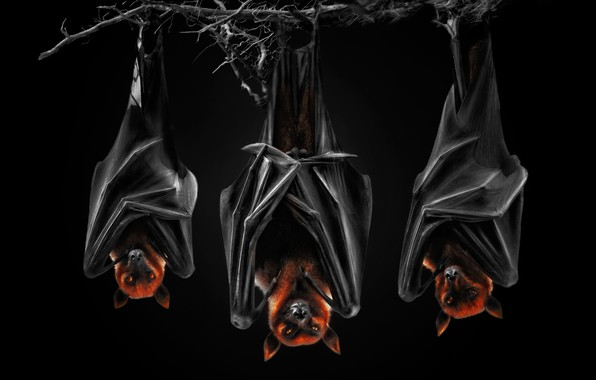 Picture black background, the dark background, bats, Pteropus, flying fox, flying dogs, night bats