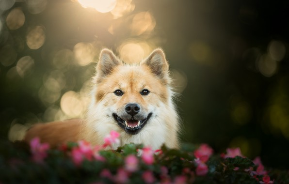 Picture look, face, dog, bokeh, The eurasier
