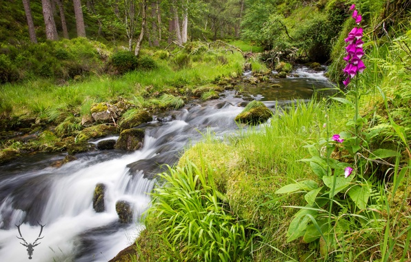 Picture greens, forest, summer, grass, trees, flowers, stream, stones, moss, Scotland, Cairngorms National Park