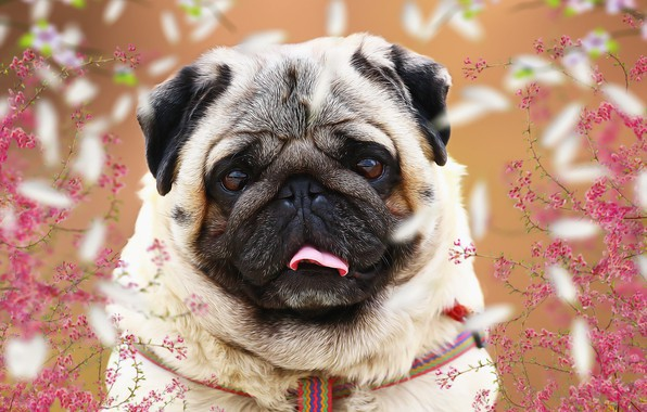 Picture language, background, each, spring, pug