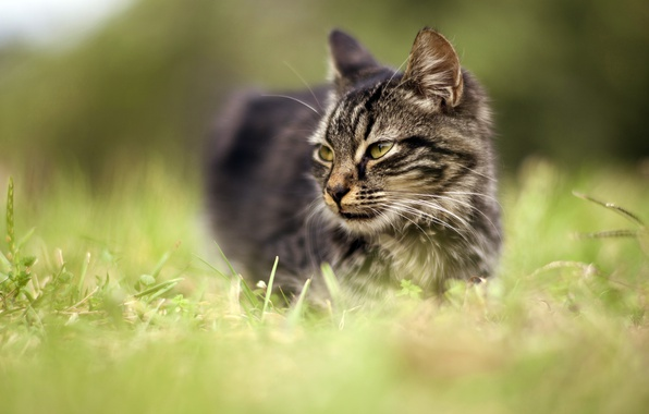 Picture cat, grass, eyes, cat, look, face, nature, grey, background, portrait, meadow, green, striped, blurred