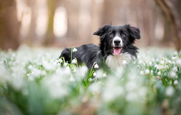 Picture forest, language, face, flowers, Park, background, glade, black and white, dog, spring, snowdrops, bokeh, the …