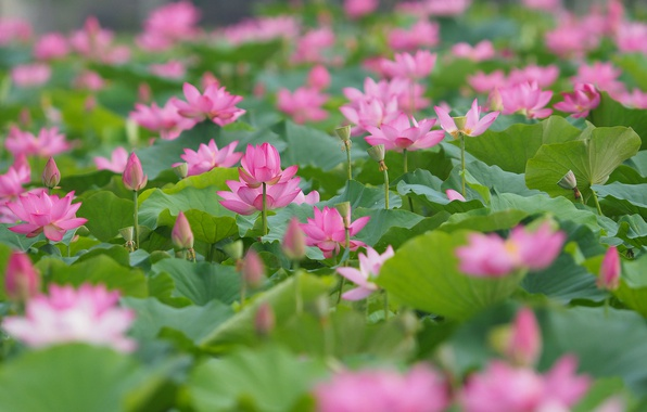 Picture leaves, Japan, buds, Lotus, a lot