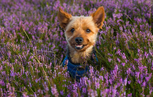 Picture look, face, Yorkshire Terrier, Heather, dog