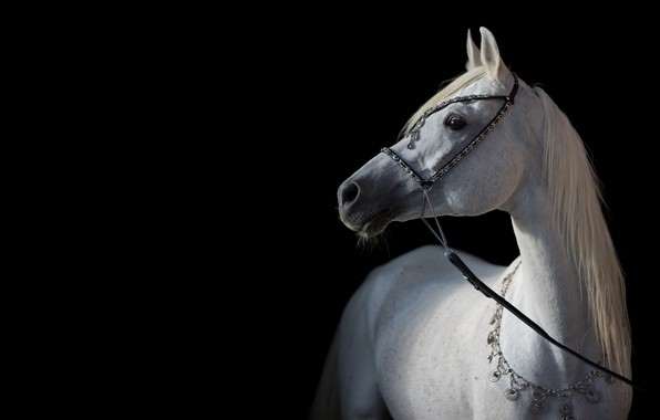 Picture light, horse, horse, contrast, grace, the dark background, Arab