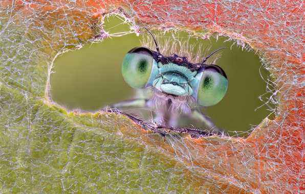 Picture eyes, macro, sheet, dragonfly