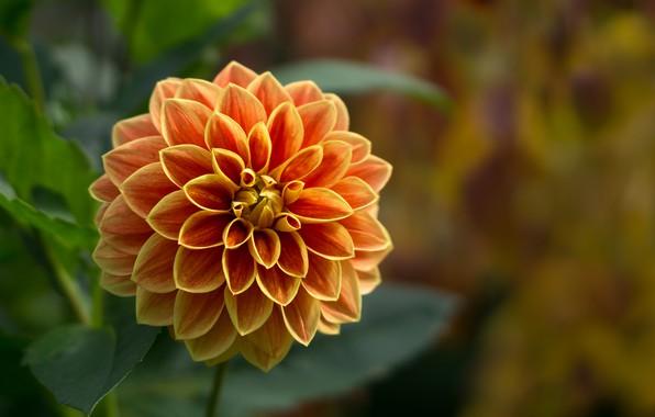 Picture flower, petals, garden, Dahlia