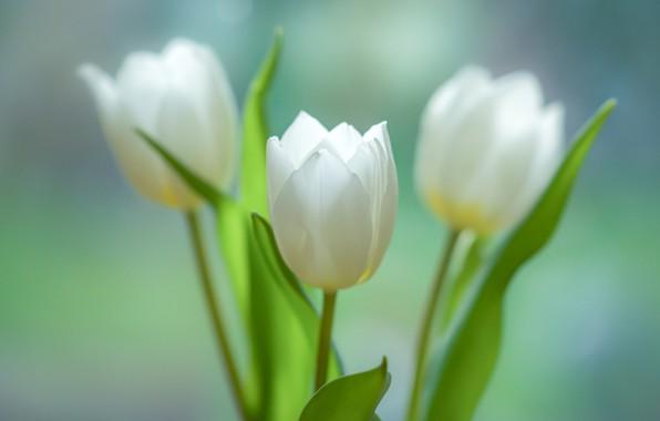Picture tulips, trio, buds, three tulips, bokeh, white tulips