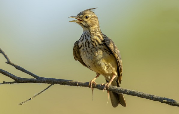 Picture birds, branch, crested lark