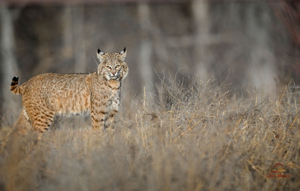 Picture animal, wool, color, lynx, ears, brush
