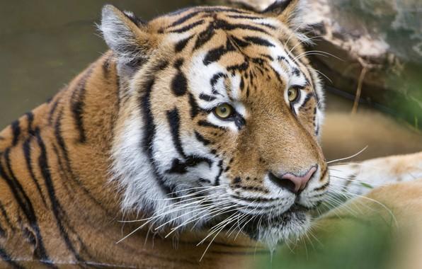 Picture tiger, portrait, predator, handsome