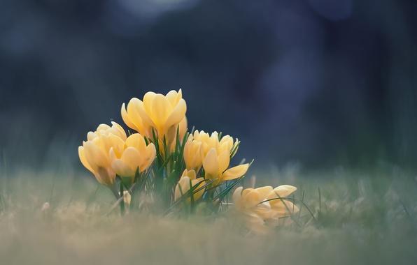 Picture flowers, spring, crocuses, bokeh