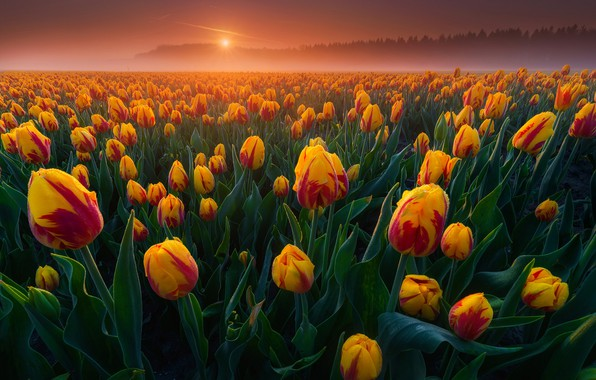 Picture field, fog, dawn, morning, tulips, Netherlands, buds, a lot