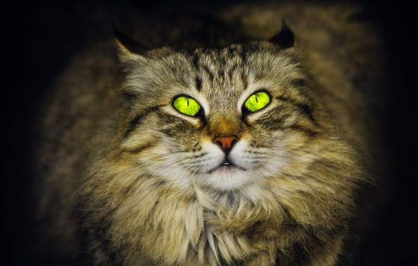 Picture green eyes, looking up, Siberian cat