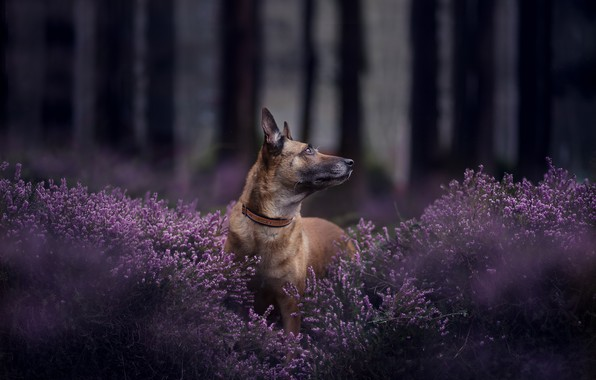 Picture forest, face, dog, bokeh, Heather, Belgian Malinois