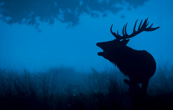 Picture night, nature, deer, silhouette, horns