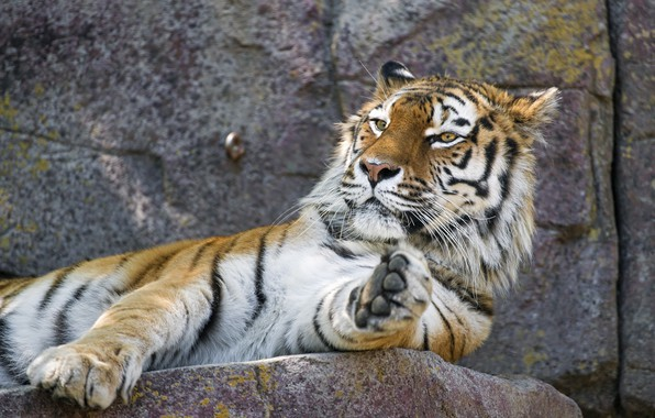 Picture face, tiger, stay, paw, predator, lies, wild cat, zoo, Amur