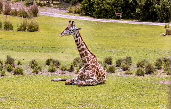 Picture animal, giraffe, color, neck