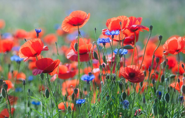 Picture field, summer, flowers, nature, background, glade, Maki, red, al, a lot, cornflowers, poppy field