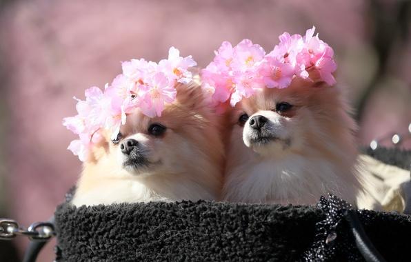 Picture Sakura, cute, Spitz, wreaths