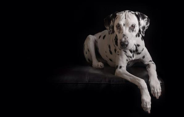 Picture look, portrait, dog, paws, black background, Dalmatian