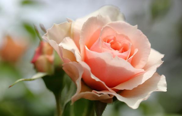 Photo wallpaper macro, rose, petals, Bud, bokeh