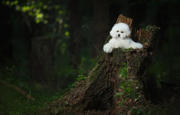 Picture forest, stump, dog, Bichon Frise