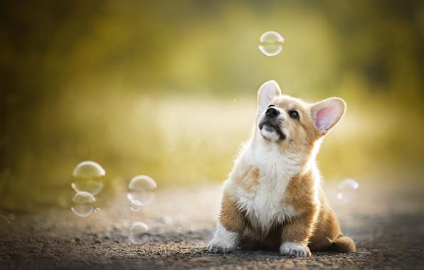 Picture baby, bubbles, puppy, bokeh, doggie, Welsh Corgi