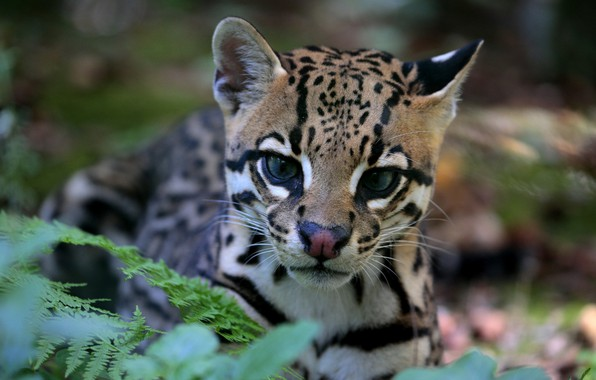 photo wallpaper ocelot predator color look