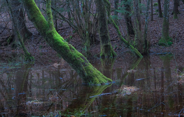 Picture forest, water, trees, moss