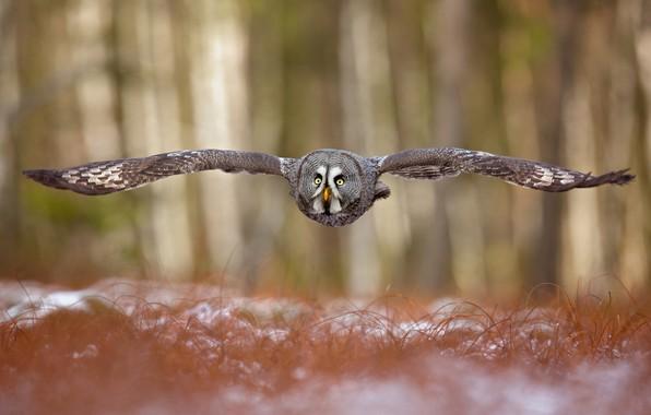 Picture forest, owl, bird, wings, flight, bokeh