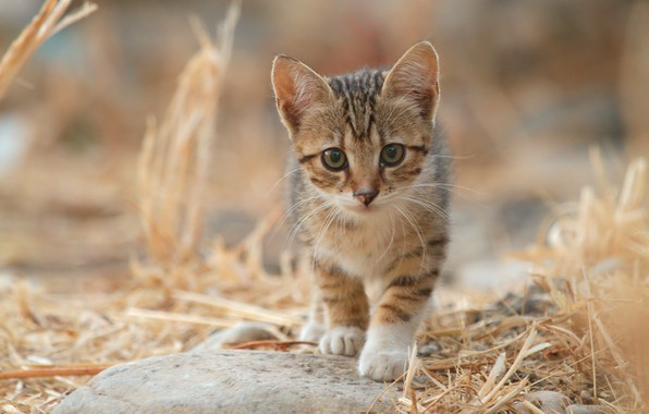 Picture straw, looking at the camera, tabby kitten
