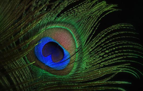 Picture macro, eyes, pen, peacock